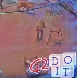 Tiger attacks lion at Moscow circus